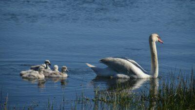 cisnes - la falsa familia